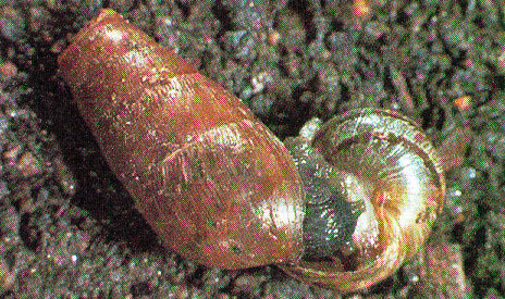 Decollate Snails (Rumina decollata) - 500