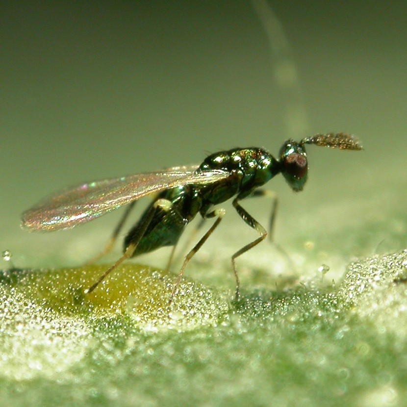 Leafminer parasite- Diglyphus isaea - 500