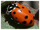 Lady Beetle, SM - 1/2 pt (approx 4,500)