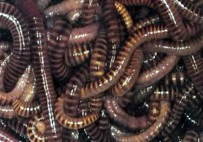 Earthworms, approx 1/4 lb